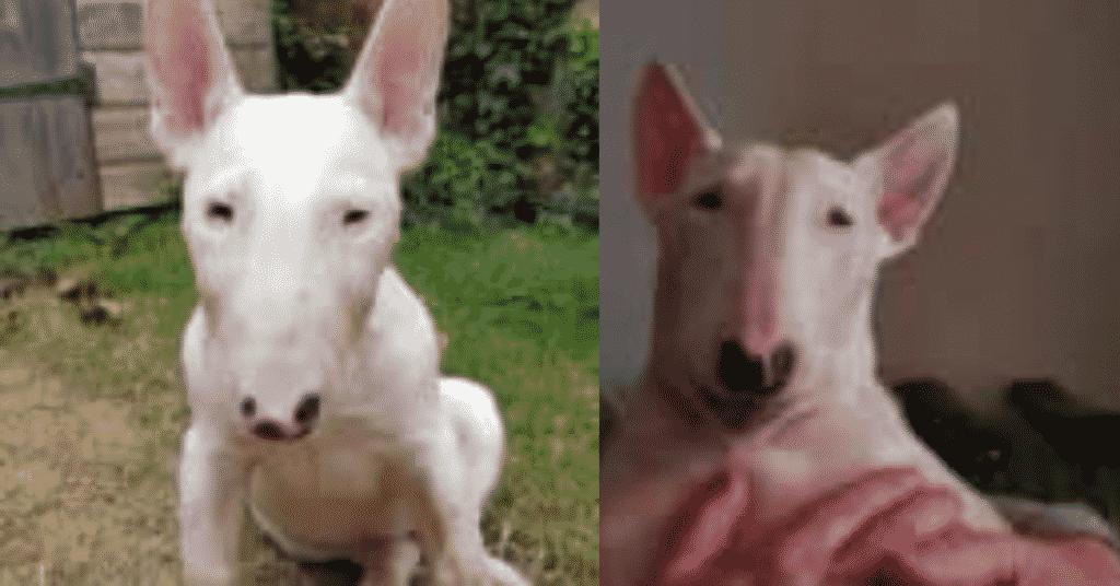 Molly the Bull Terrier