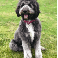 SuperDog nominee Shelby the Sheepadoodle